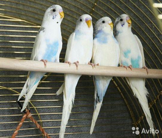 Самка волнистого попугая