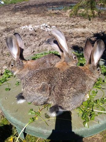 Sprzedam króliki Bos