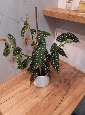 Begonia maculata roslina doniczkowa