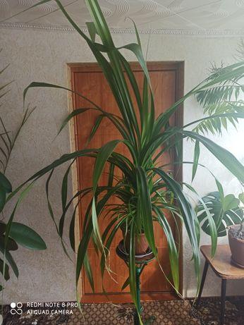 Панданус, винтовая пальма, кукурузка