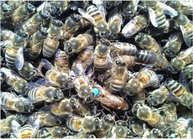 Украинская степная (Степова). Пчеломатка Украинская. Отборная.
