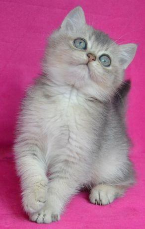 Британский Золотой ( голубой) котик шиншиллы