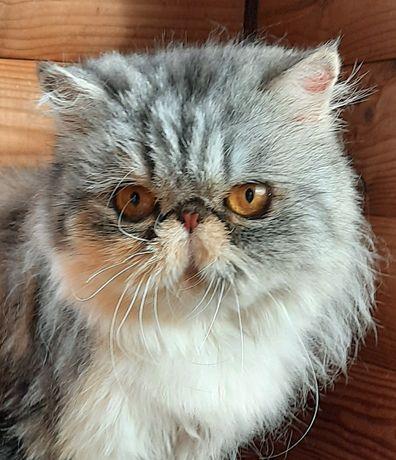 Кошечка экзот, голубокремовая девочка на серебре