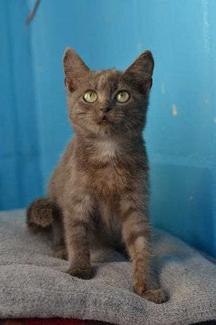 Котенок-девочка окраса серый дым.