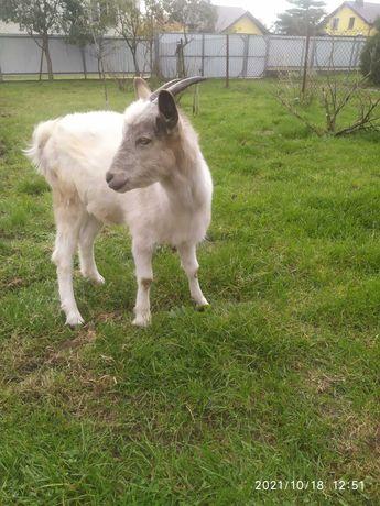 Продам козу 8  міс