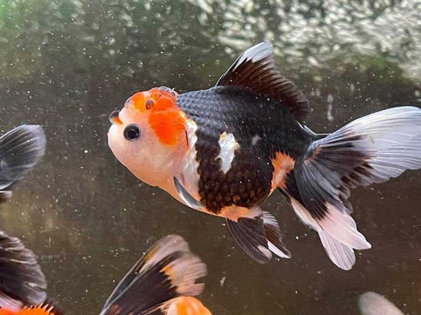 Oranda black tanco / tricolor / panda