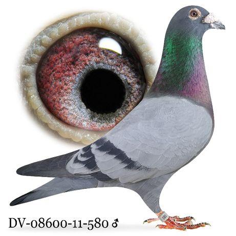 Młode 2021 Para nr 15 Fineke 5000/Hermans Custe gołąb gołębie pocztowe