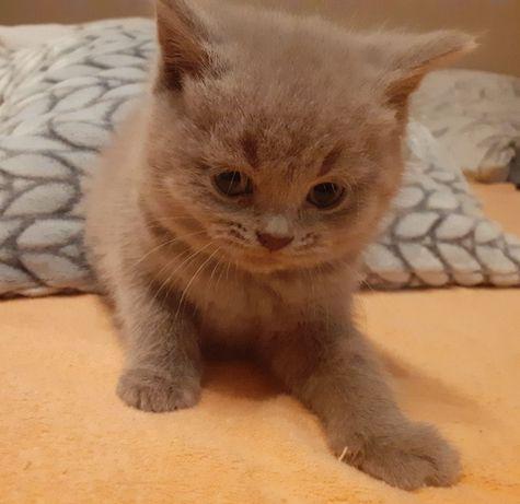 Kot brytyjski OSTATNIA KOTKA liliowa do rezerwacji kotki brytyjskie