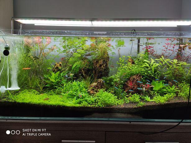 Blyxa japonica roślina akwariowa