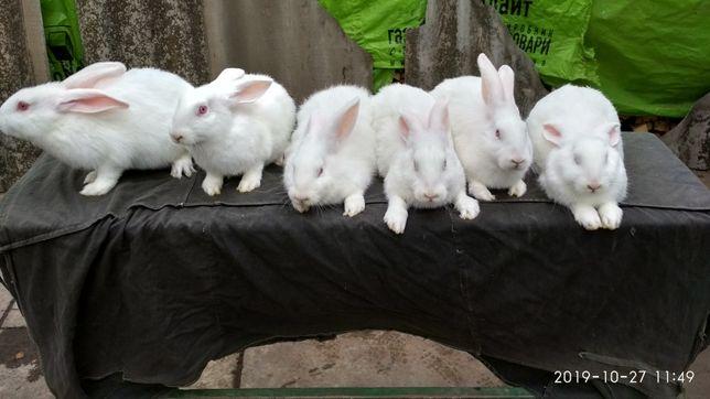 Кролики продам термонців білих