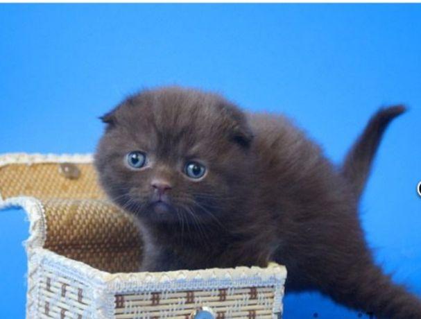 Продам шоколадного котенка
