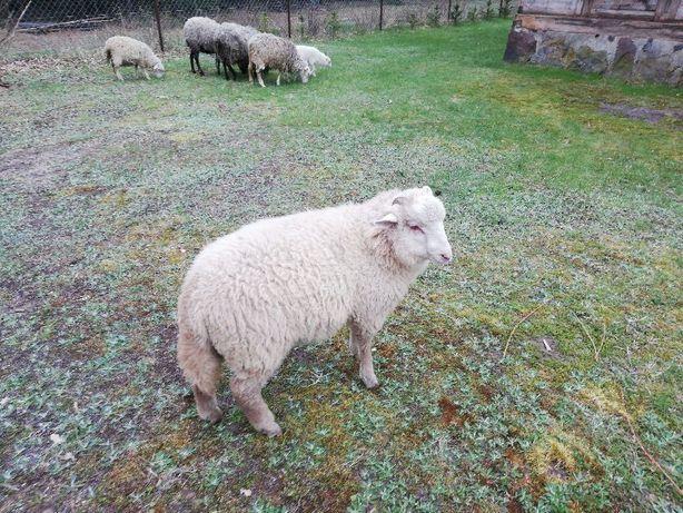 Owce. . . . . . .
