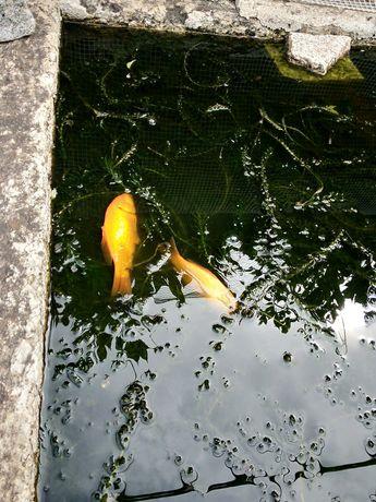Peixes de água fria para lago