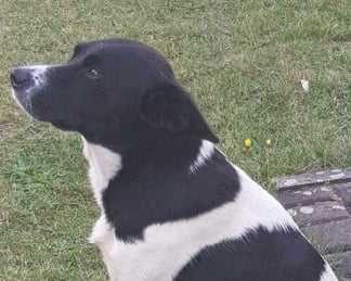 Cudowny pies szuka domu, miły, grzeczny, ułożony, duży, młody, Poznań