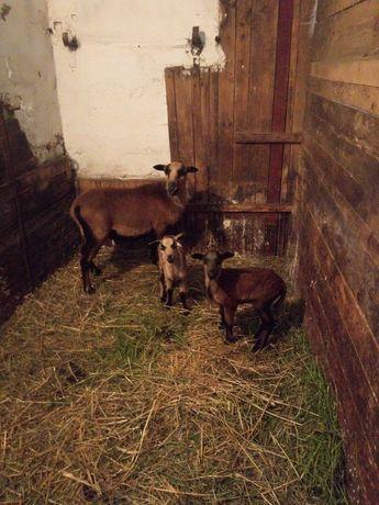 Sprzedam owcę kameruńska z małymi