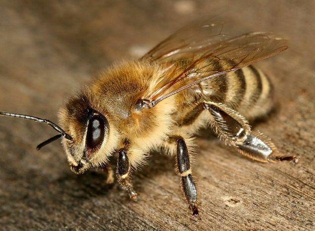 Pszczoły, odklady, dadant, warszawska posz., Ostrowskie,rodziny , ule