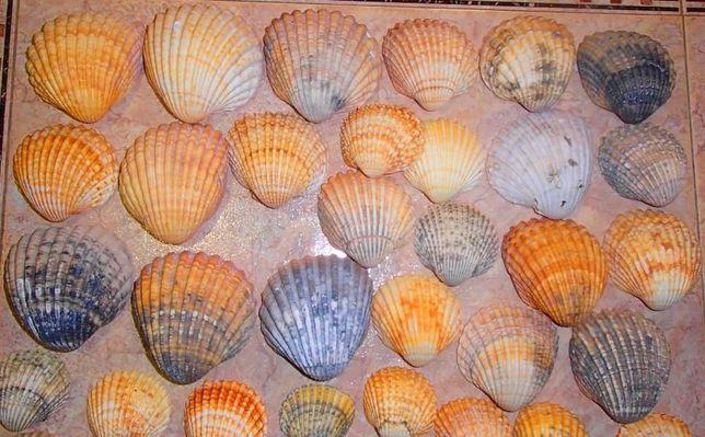 Conchas grandes do (Minho).