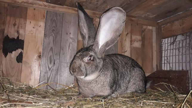 Продаж кролі бельгійського  велетня