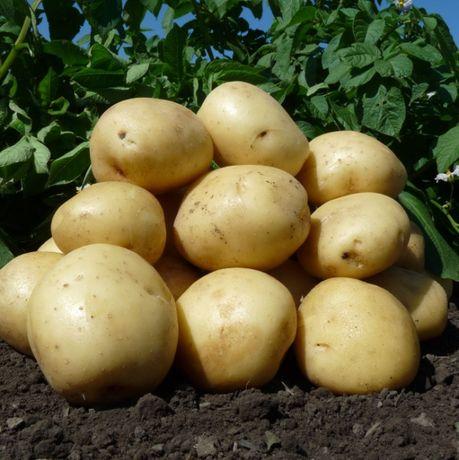 Насіннєва картопля сорт Арізона 1 репродукція
