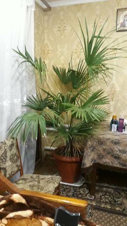 Хамеропс веерная пальма