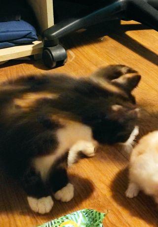 Zaginęła 5letnia kotka Krysia