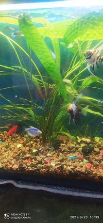 Криптокорина( аквариумные водоросли)