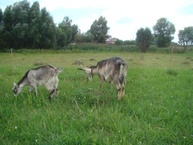 Продам молочну козу