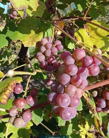 Winogrono różowe duże