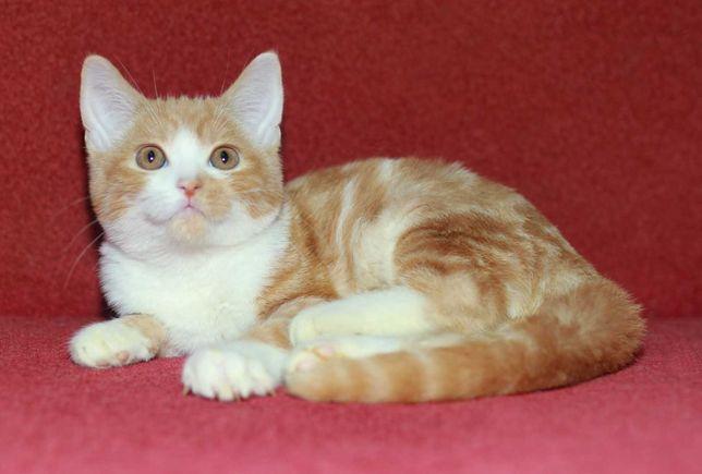 Упитанный шотландский  рыжий котик.