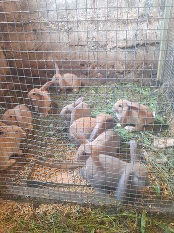 Witam sprzedam piękne króliki po dużych rodzicach