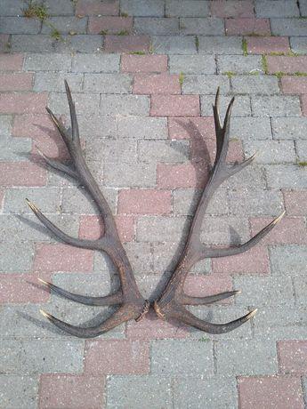 Poroże jelenia - para 14-tak 4,50 kg