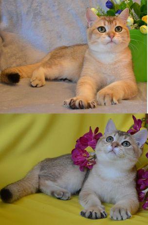 Британские котята BRI ny11 золотая шиншилла. Уже привиты.