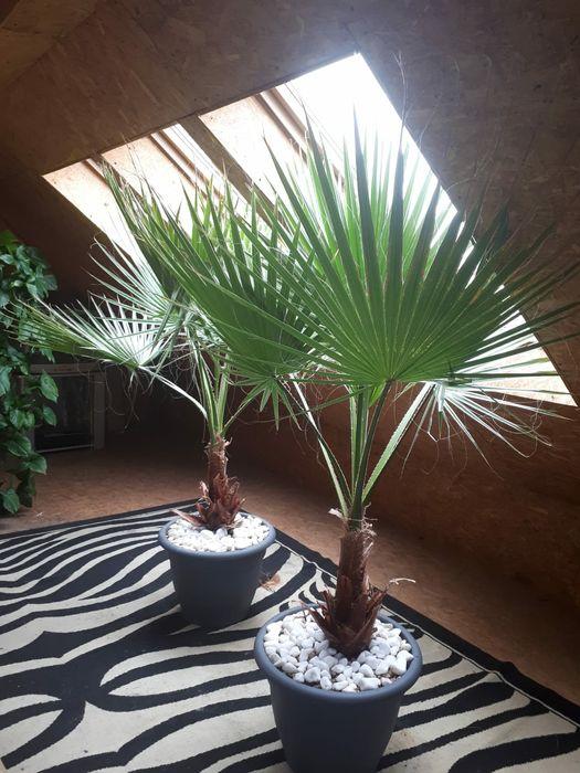 Palmy Duże Palmy Proszowice - image 1