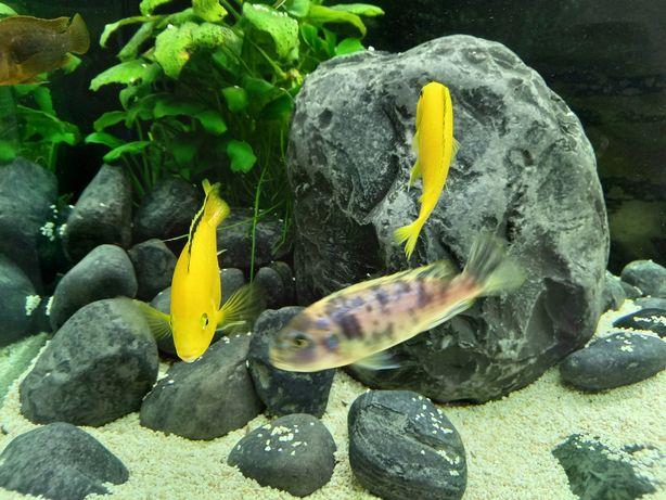 Pyszczaki yellow młode