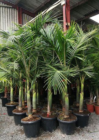 Sementes palmeira real cubana