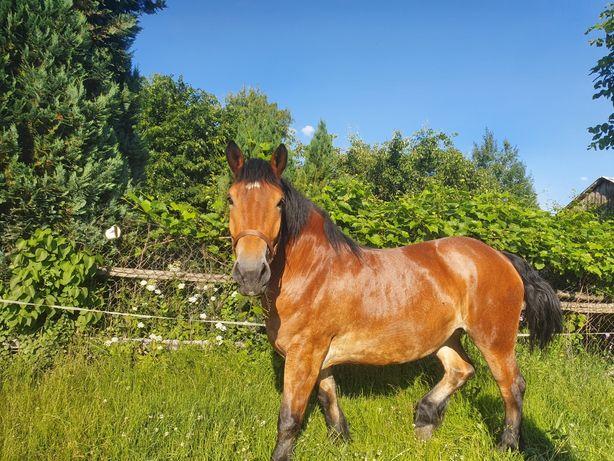 Polski koń zimnokrwisty, klacz gniada