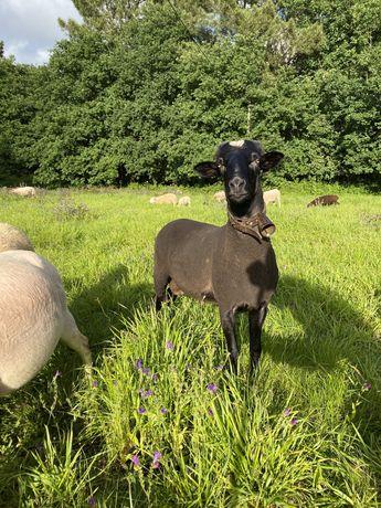 Vendo carneiro preto