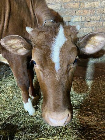 Телиця на корову