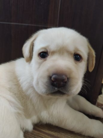 лабрадор ретривер щенки