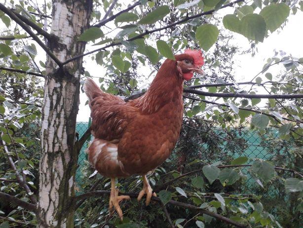 Kurki nioski kokoszki  Lohmman brown 21 tygodniow  kury  już z jajkiem