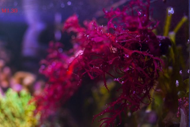 Makroglony Morskie. Akwarium Morskie. Wysyłka