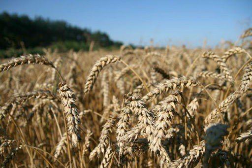 Otręby pszenne bez GMO.
