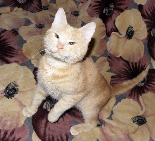 Персиковый котик АБРИКОСИК