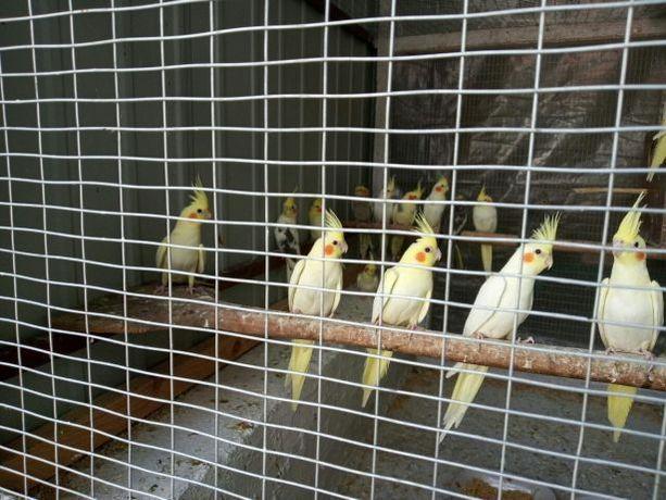 Корелла (Карелла),Волнистые попугаи
