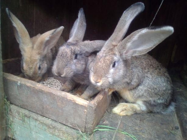 Кроленята, кролі