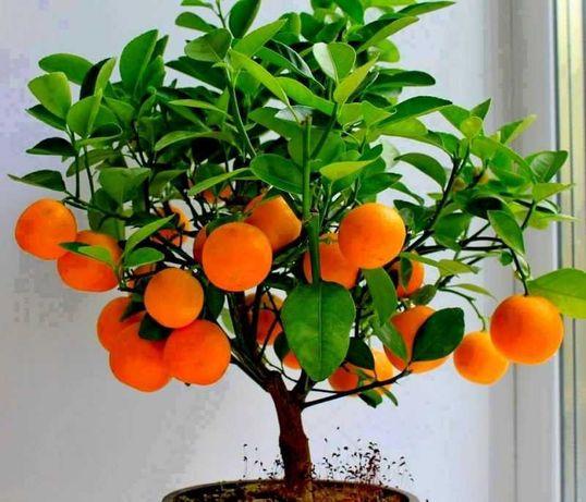 Plantas Bonsai de Fruta