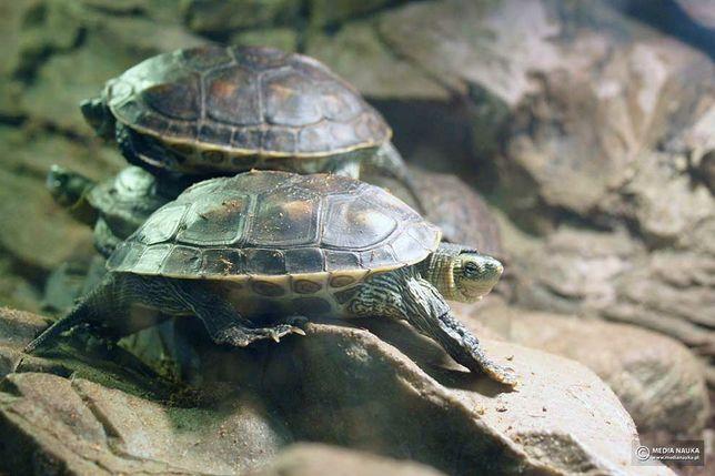 Żółw Pręgowany (wodno lądowy )