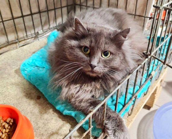 Серая Грейс нуждается в заботливых ручках, 1 год (кошка, кошечка)