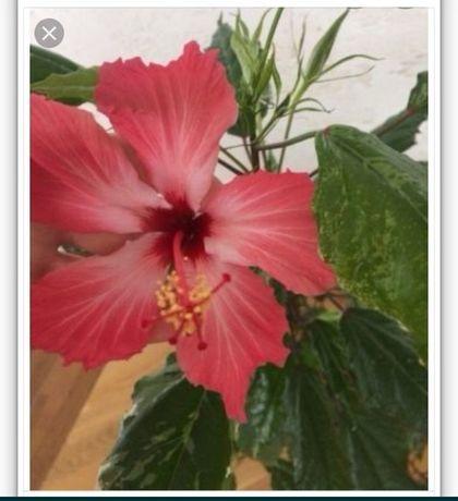 Цветок ГИБИСКУС КУПЕРА вариегатный (Китайская  роза) шикарный