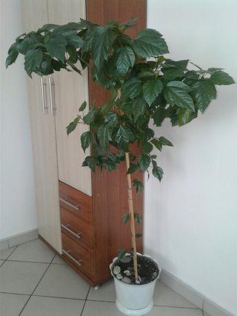 Роза каркадэ комнатная